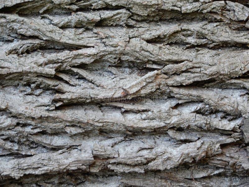 Barkentyna Europejski dębowy drzewo obraz stock