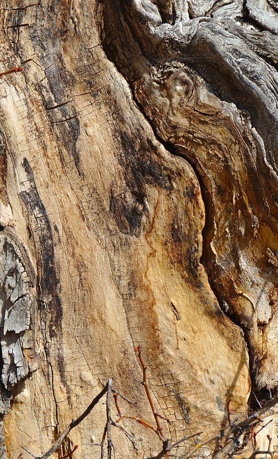 Barkentyna na antycznym cottonwood drzewie fotografia stock