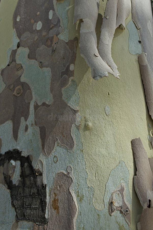 Barkentyna płatkowaty płaski drzewo zdjęcia royalty free