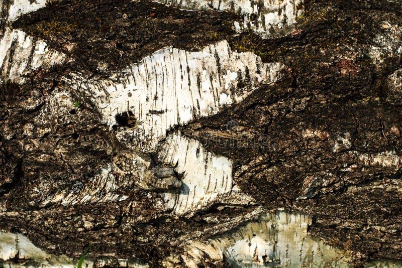 Barkentyna stara brzozy drzewa tekstura fotografia royalty free