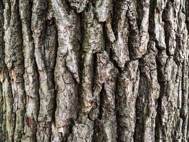 Barkentyna stary dębowy drzewo zdjęcia stock
