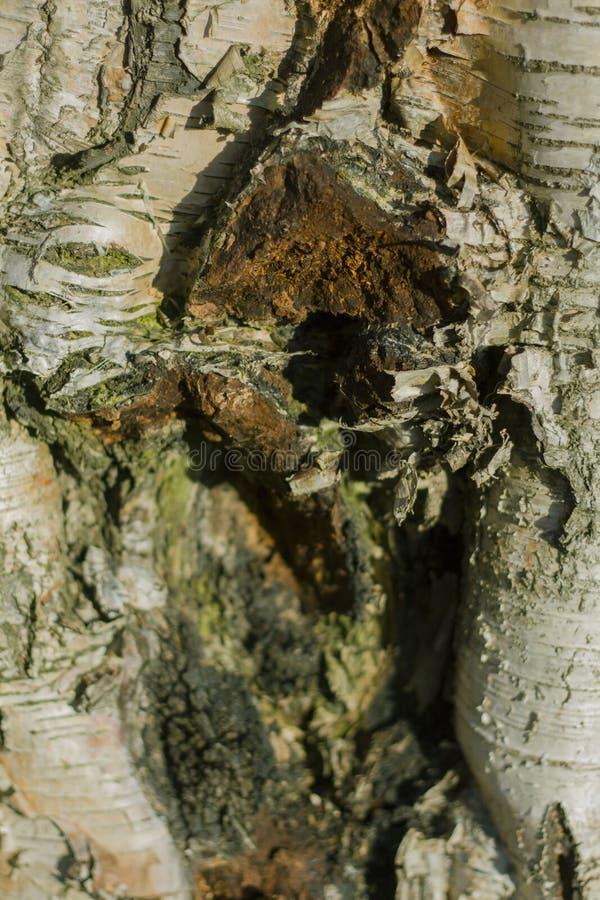 Barkentyna stary drzewo zdjęcia royalty free