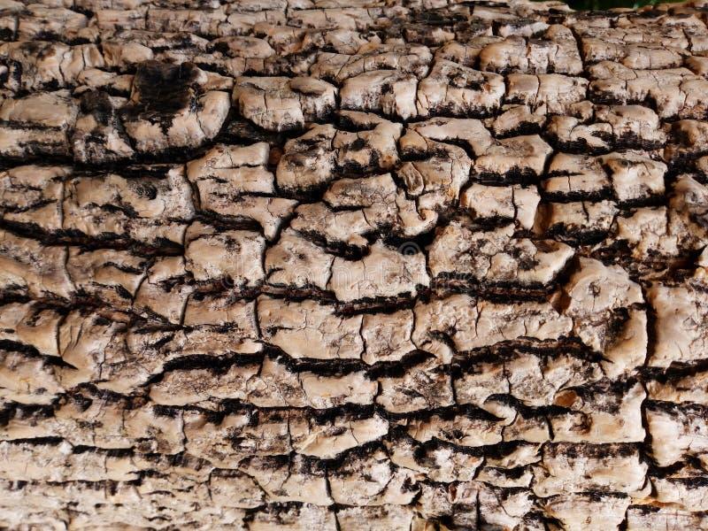Barkentyna stary drzewo Modrzew barkentyna fotografia royalty free