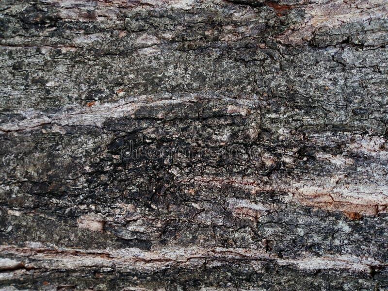 Barkentyna stary drzewo Modrzew barkentyna zdjęcie stock
