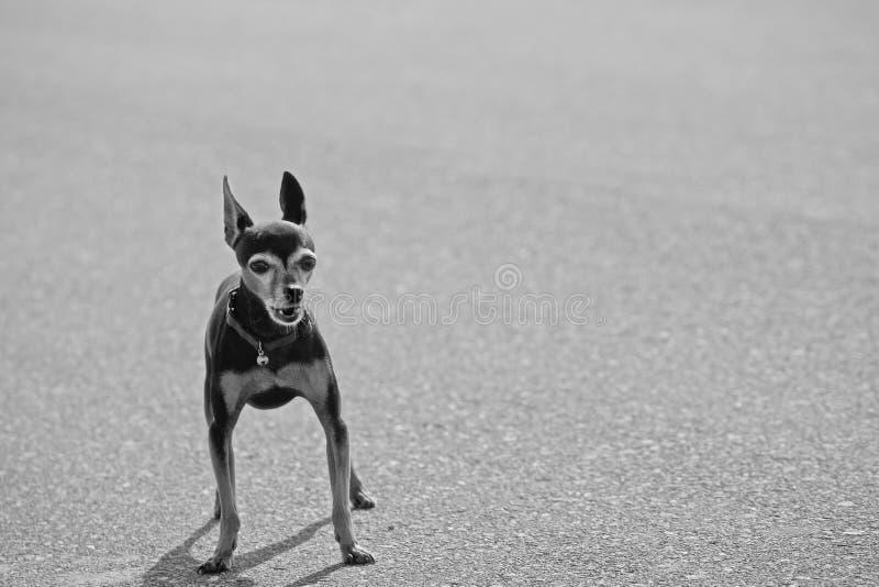 Download Barking Chihuahau stock photo. Image of monochrome, mammal - 17617182