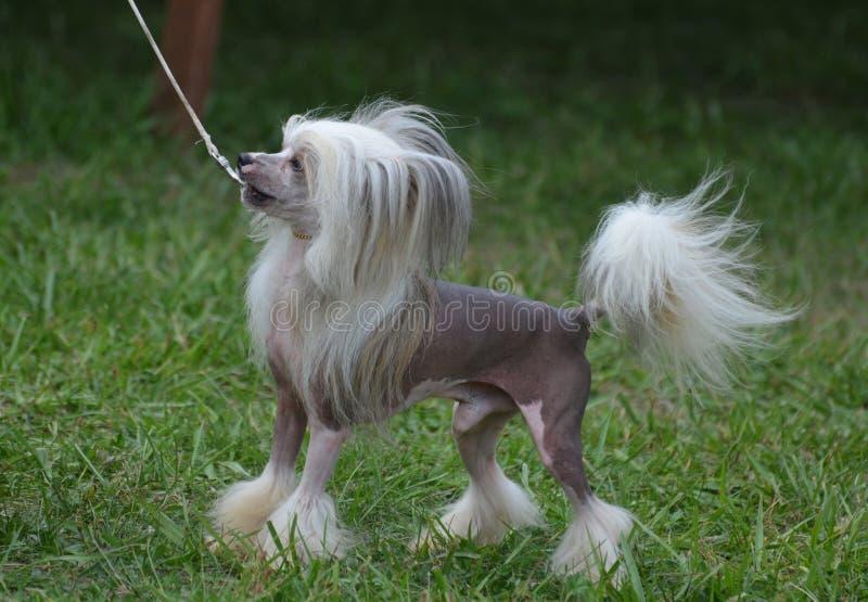 Barking Chinese Crested Dog. Chinese crested dog barking while on leash stock photos