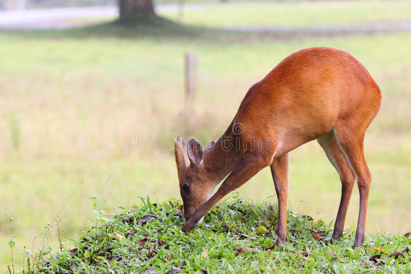 Barking Deer Royalty Free Stock Photography