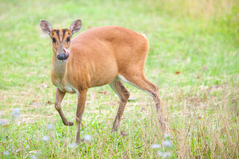 Barking deer in a field of grass ,Khao Yai National Park royalty free stock photo
