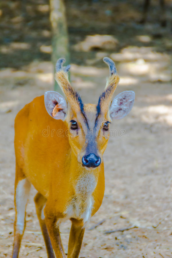 Barking Deer, or Red Muntjac in common name or Muntiacus muntjak in Scientific name at the open zoo royalty free stock photography