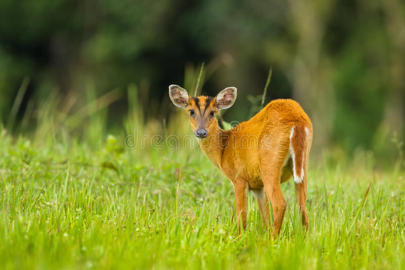 Barking deer stair at us stock photo