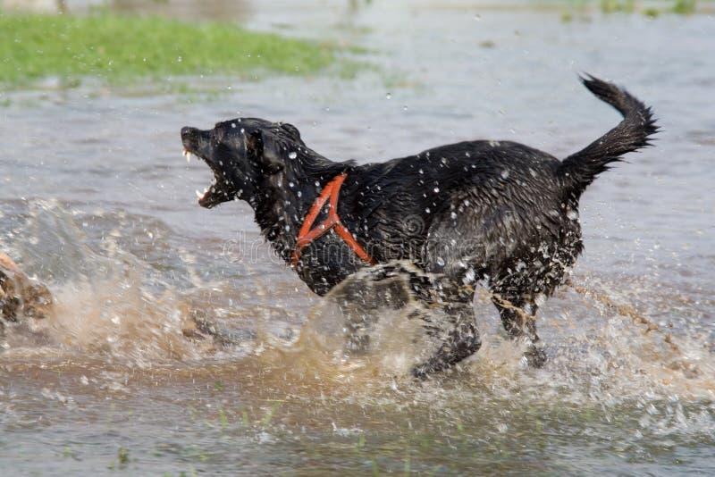 Barking dog royalty free stock images