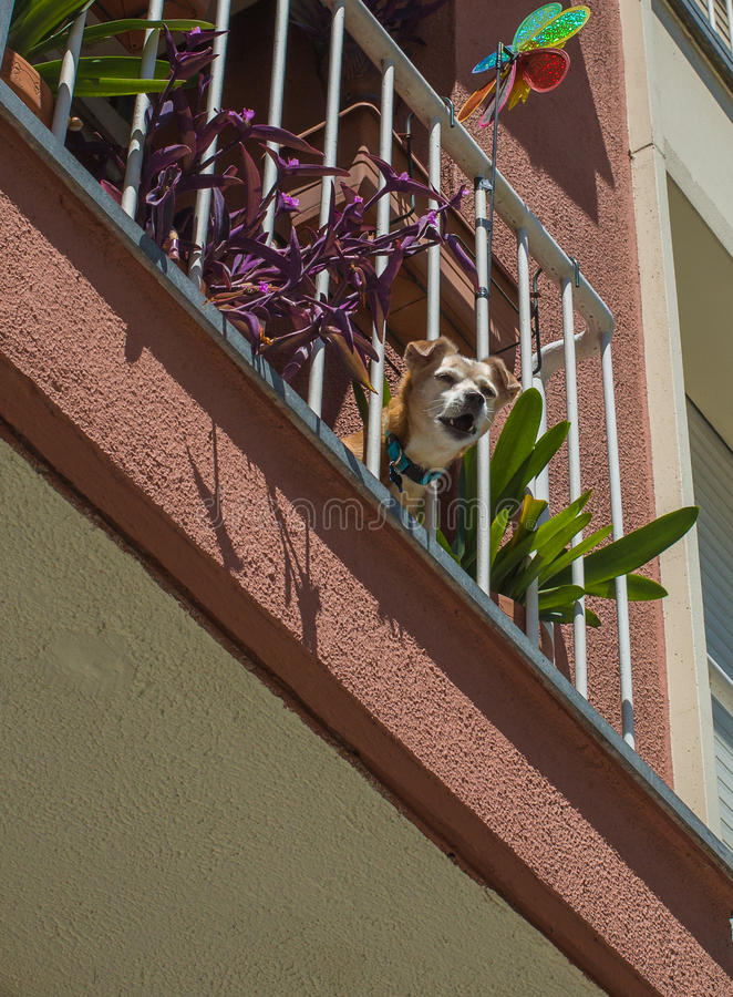Barking dog at balcony. A little dog looks down from a balcony and barks to the pedestrians passing by at the city of Granollers in northwestern Spain royalty free stock images