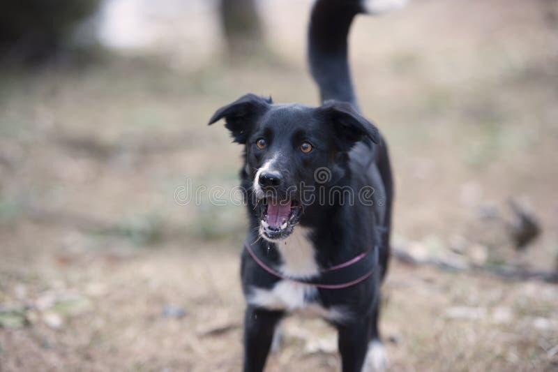 Barking dog royalty free stock image
