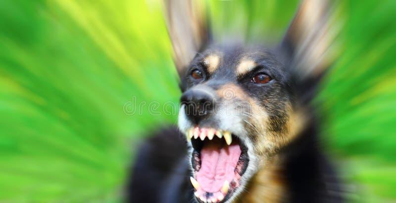 Barking dog. Barking enraged shepherd dog outdoors over blurred green background royalty free stock image