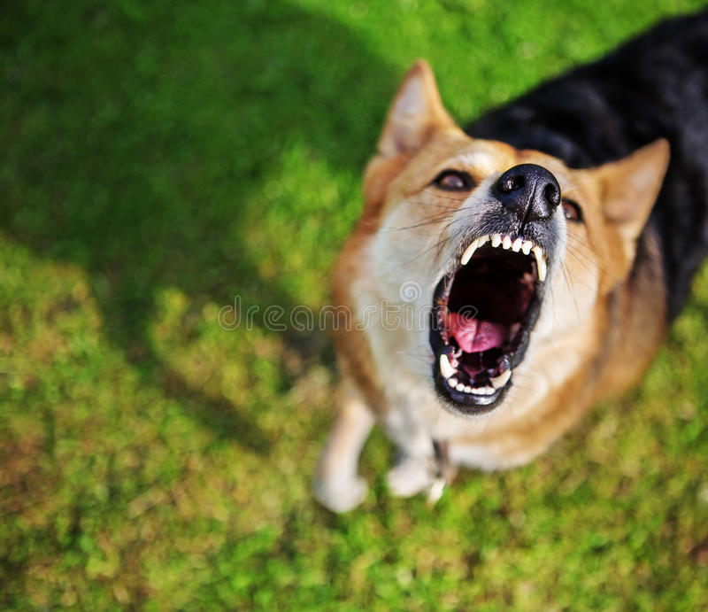 Barking dog. The dog is barking intensely and looking up. Performing command Speak / Bark