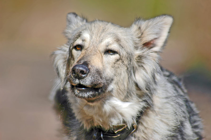 Download Barking grey dog stock image. Image of predator, green - 6124263