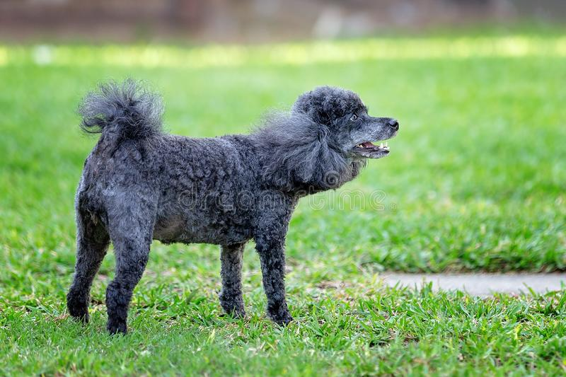 Barking Miniature Black Poodle. A pet miniature black poodle barking in its own backyard against a green grass background royalty free stock images