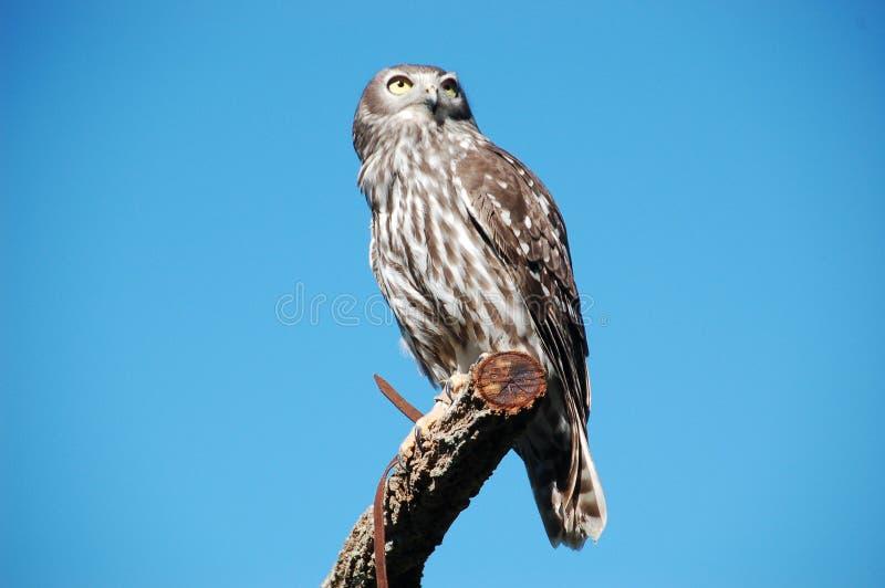 Barking Owl royalty free stock images