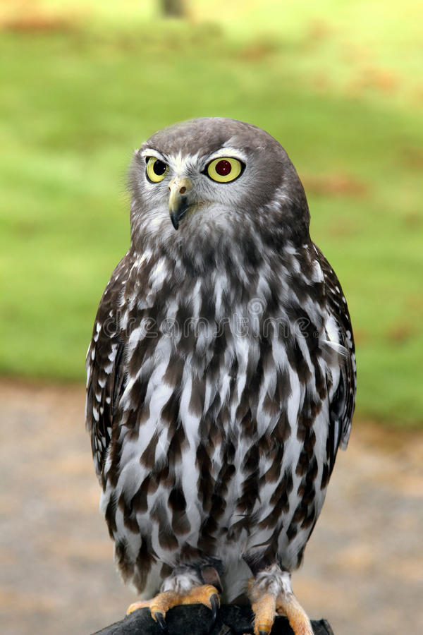 Download Barking Owl stock photo. Image of barking, feathered - 19891718