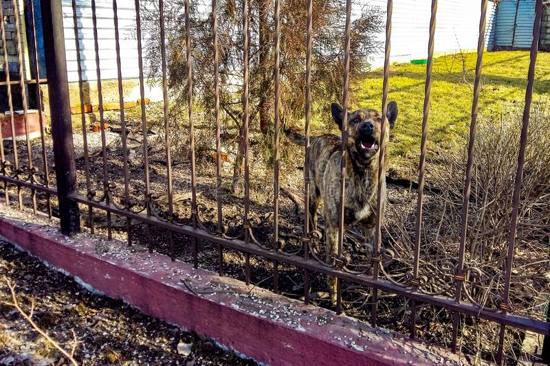 Barking shepherd dog behind a forged fence.  royalty free stock image
