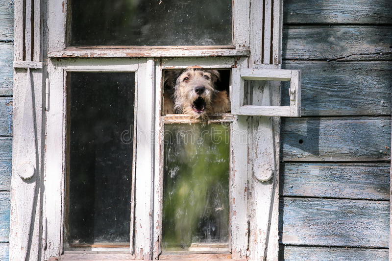 Barkling dog in a window of a wooden house in Suzdal city of Russia stock images