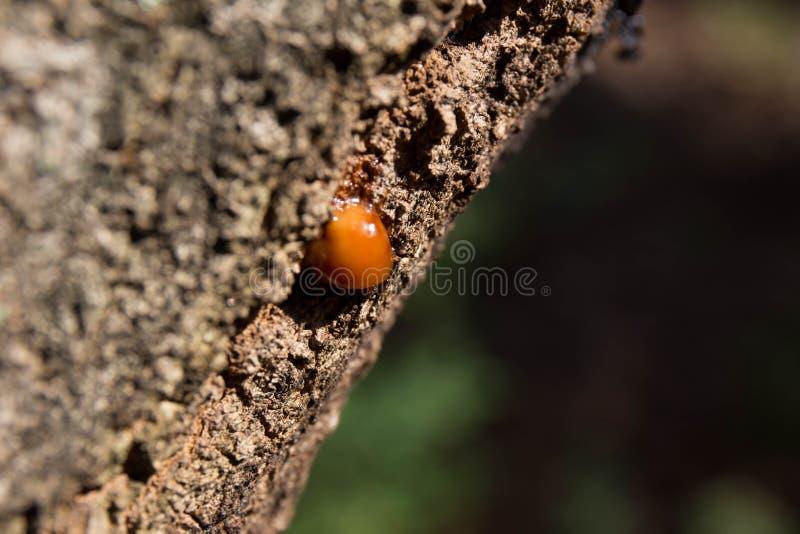 Barkwood和胶在森林里 免版税库存图片