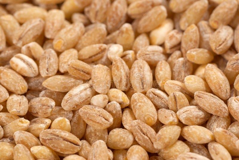 Download Barley stock photo. Image of cereal, barley, full, seed - 16932770