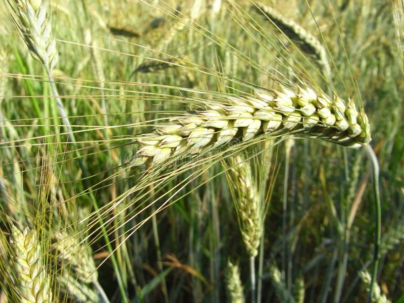 Download Barley 2 stock image. Image of spikes, food, farm, farmer - 5625415