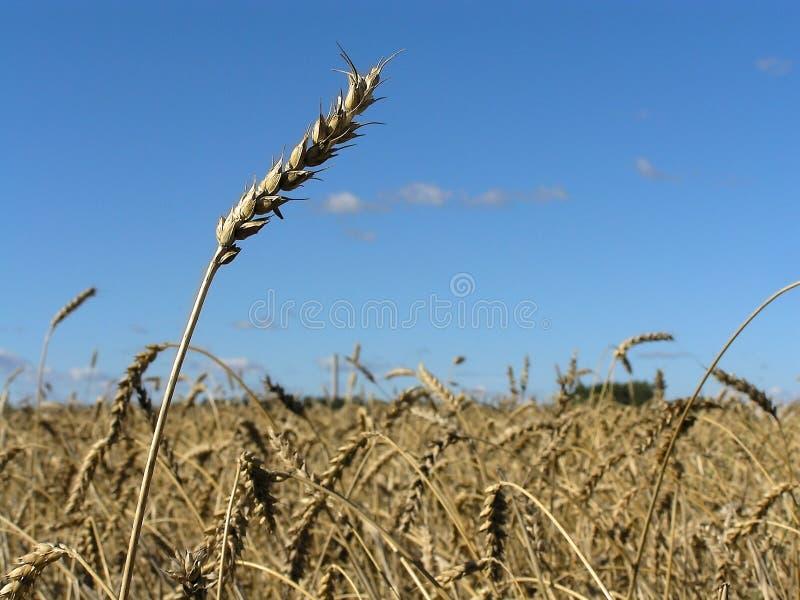 Download Barley stock image. Image of food, yellow, grain, bread - 223921