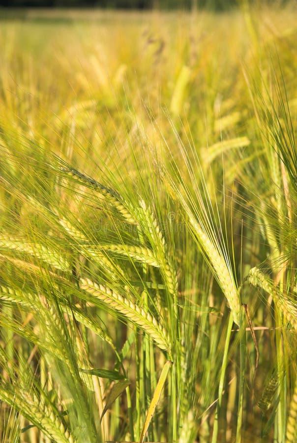 Download Barley Stock Photo - Image: 23464970