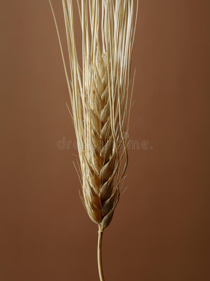 Download Barley stock image. Image of seeds, vulgare, seedhead - 24466963