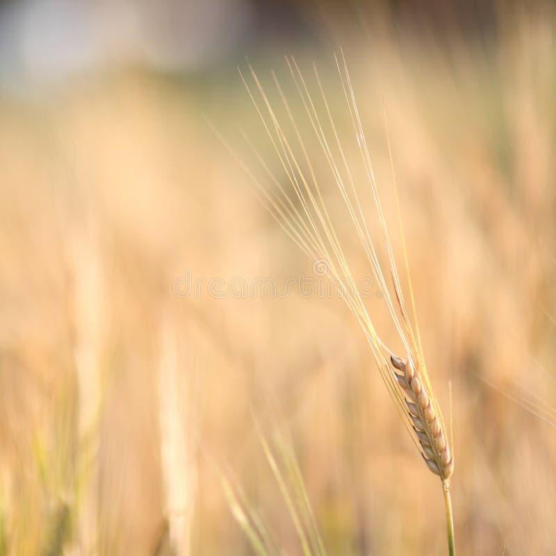 Barley. In farm close up stock image