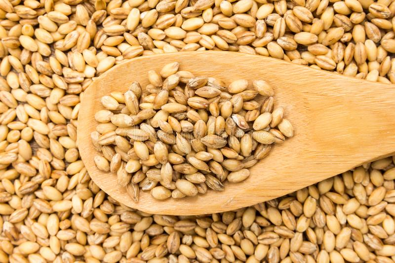 Barley cereal grain. Grains in wooden spoon. Close up. stock images