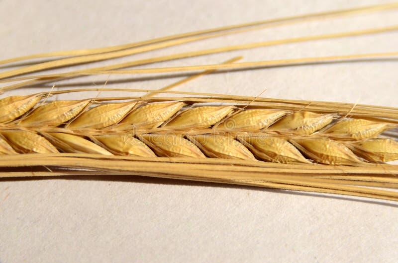Barley stock photos