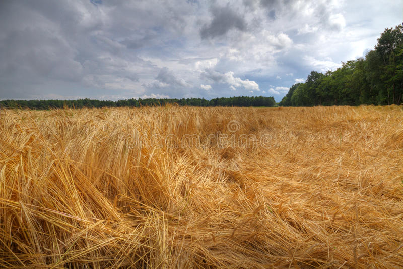 Barley crop flattened by wind and rain stock photos