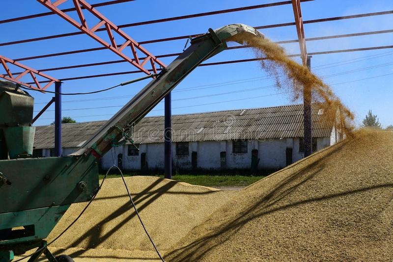 Barley crops being separated out of dust in the yard. royalty free stock image