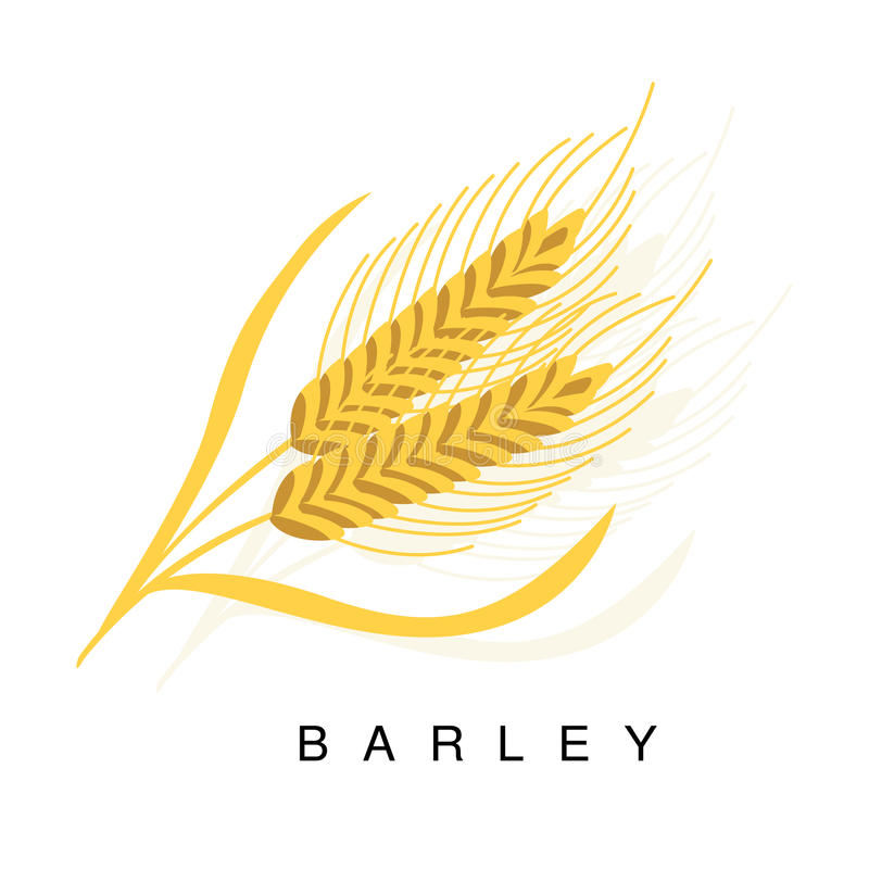 Barley Ear, Infographic Illustration With Realistic Cereal Crop Plant And Its Name vector illustration