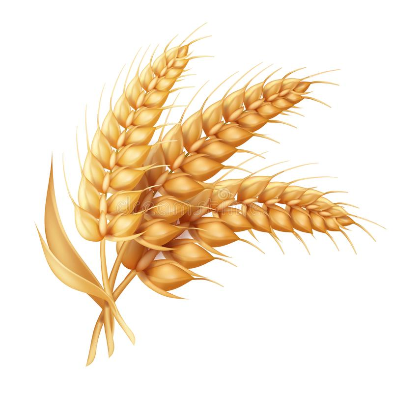 Barley ear with leaves realistic isolated. Wheat vector icon stock illustration