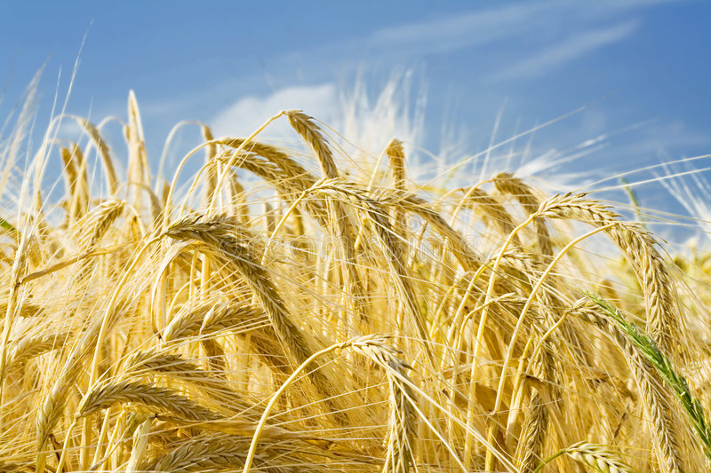Download Barley ears ground view stock photo. Image of rich, ripe - 1102404