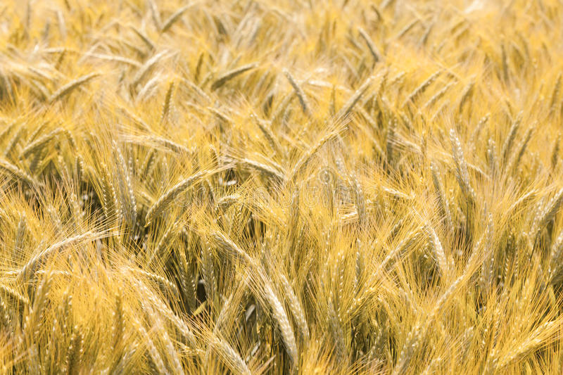 Download Barley field stock image. Image of seed, food, crop, yellow - 20386343