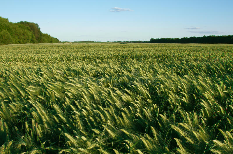 Download Barley Field Royalty Free Stock Images - Image: 23786359