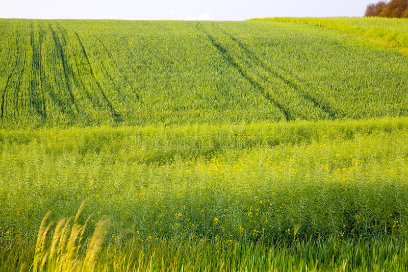 Download Barley field stock image. Image of blue, rural, summer - 28501085