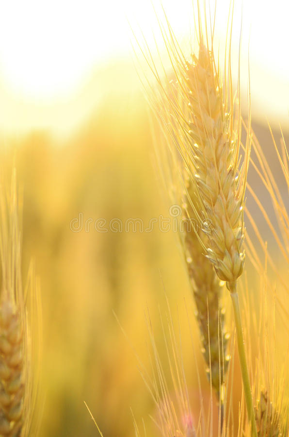 Barley field royalty free stock images