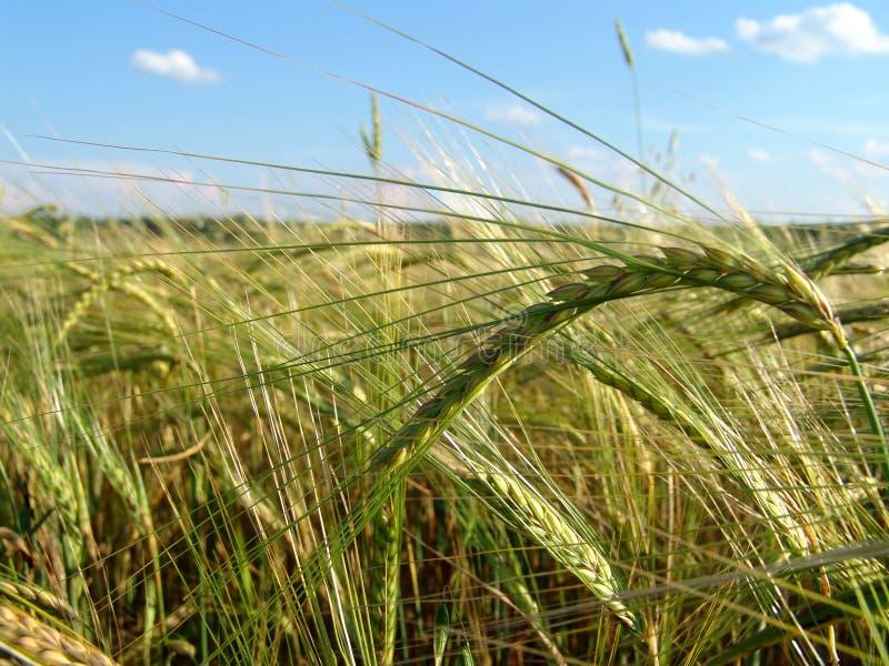 Barley field 5 stock image