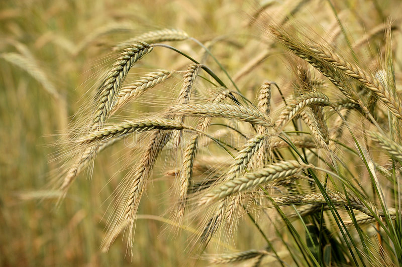 Download Barley field stock photo. Image of closeup, farm, crop - 5322260