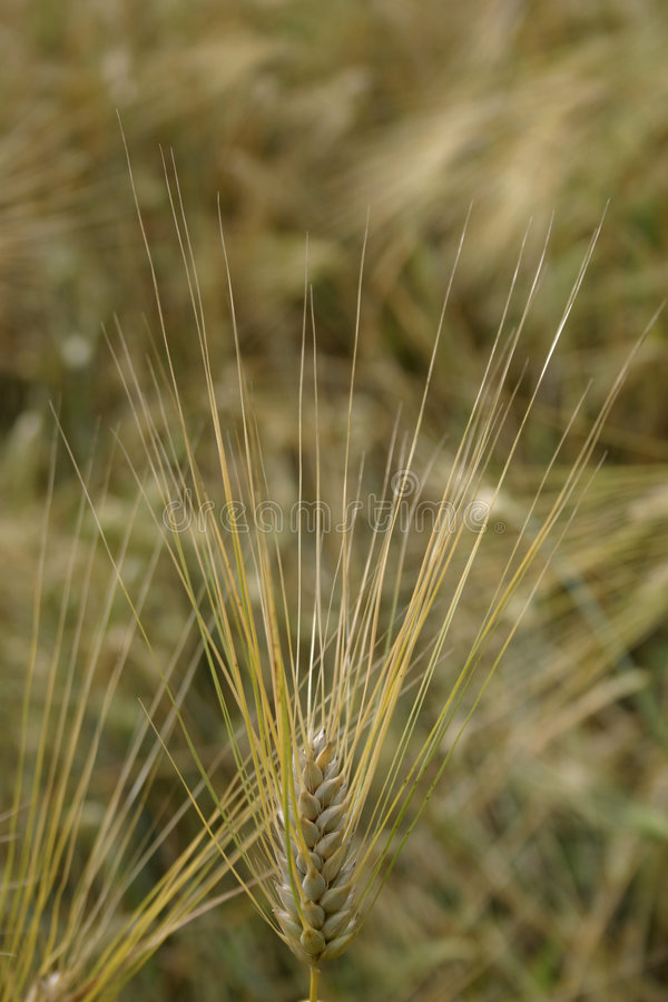 Barley field close-up royalty free stock photo