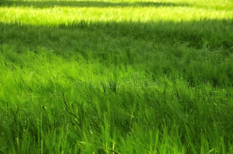 View over green barley field stock image
