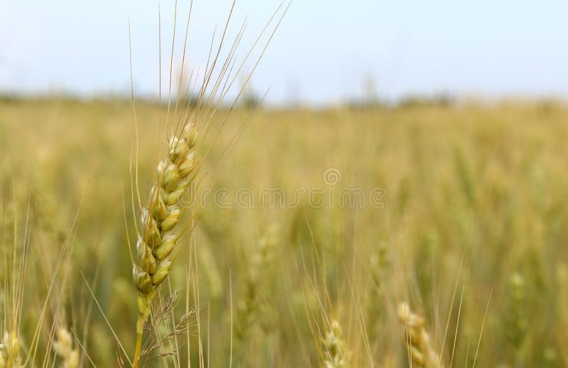 Field with ears of barley summer day stock photography
