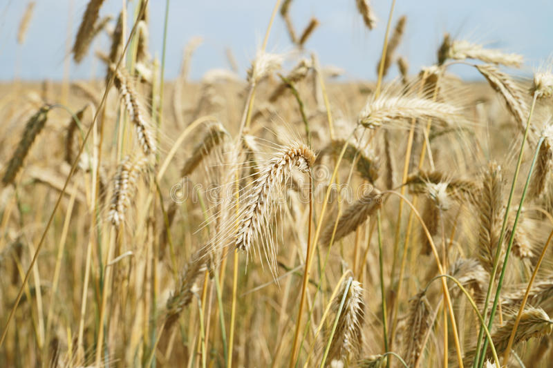 Download Barley field stock image. Image of food, earth, health - 39500387