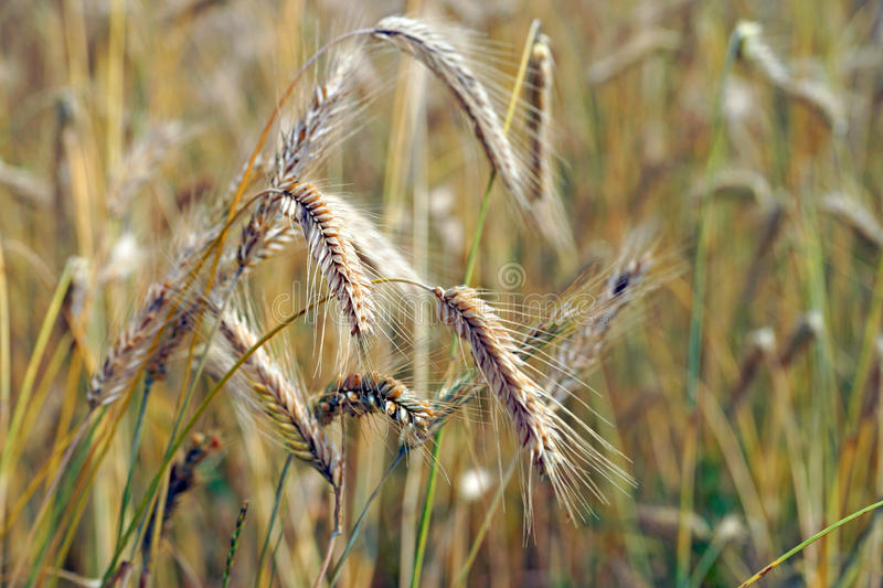 Download Barley field stock image. Image of health, rows, fertility - 39500549